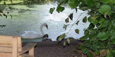 Swans on the lake at Worcester